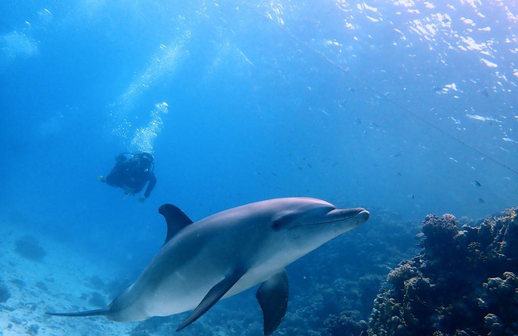 Duiken-Hurghada Dolfijn - Dolphin